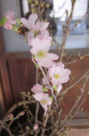 keiouzakura2013-2.jpg